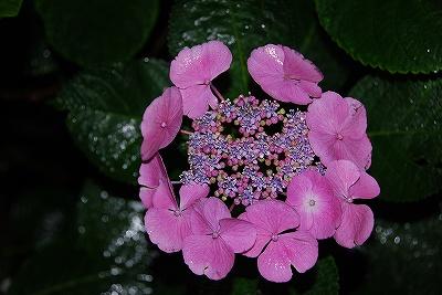 写真: ロイヤルピンク