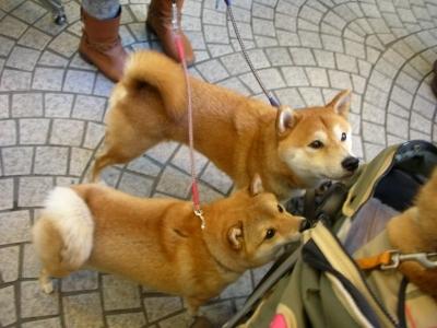 同居犬 小豆ちゃん(左)