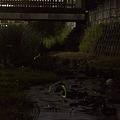 写真: 宝来橋のホタル 04