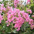 Photos: 23.8.13サルスベリの花