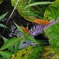 蝶とクガイソウ