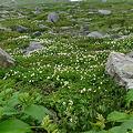 チングルマのお花畑3