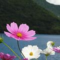 榛名湖のコスモス