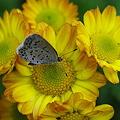 チョウと菊2