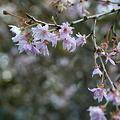 八重咲き1