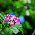 紫陽花 紅 2010